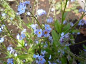 blue_flowers48