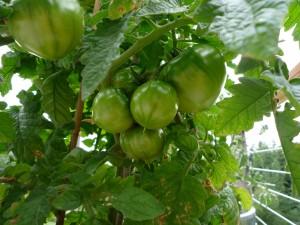 tomato_09